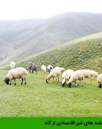 حذف گوسفند های غیر اقتصادی از گله