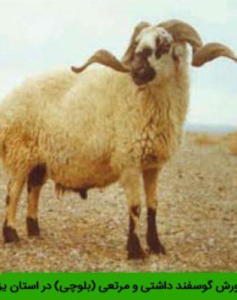 وضعیت پرورش گوسفند داشتی و مرتعی (بلوچی) در استان یزد
