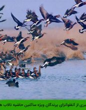 نکات پیشگیری از آنفلوآنزای پرندگان ویژه ساکنین حاشیه تالاب ها