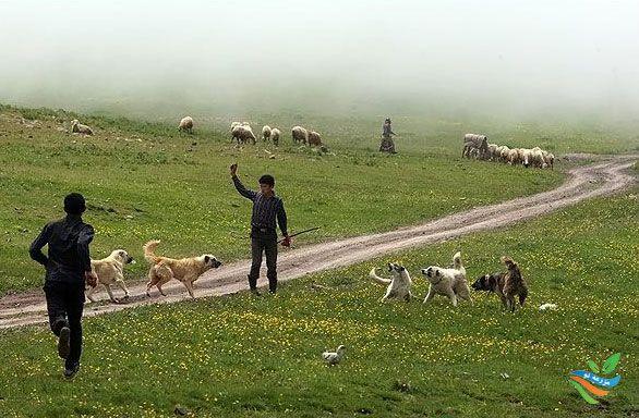 حذف گوسفندهای غیر اقتصادی از گله