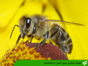 بیماری نوزما زنبور عسل را بشناسیم