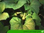 بیماری موزاییک خیار را بشناسیم