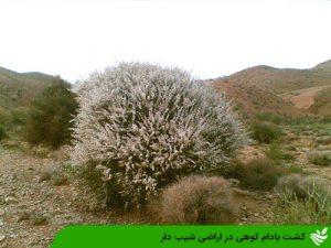 کشت بادام کوهی در اراضی شیب دار