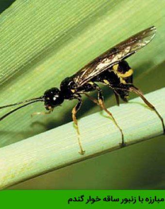 شناخت و مبارزه با زنبور ساقه خوار گندم