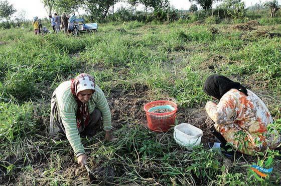 بادام زمینی در استان گیلان