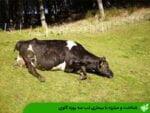 شناخت و مبارزه با بیماری تب سه روزه گاوی