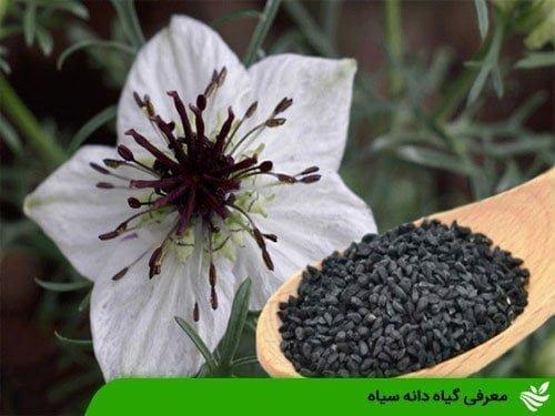 معرفی گیاه دانه سیاه