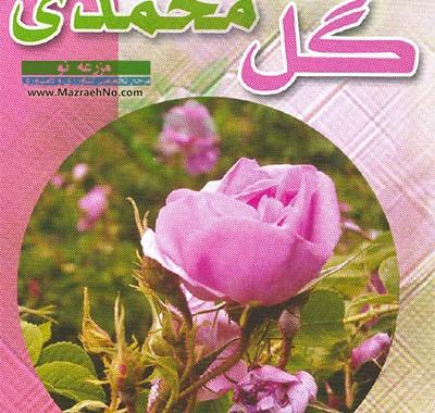راهنمای کاشت تا برداشت گل محمدی