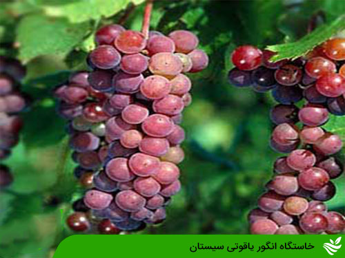 خاستگاه انگور یاقوتی سیستان