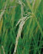 معرفی برنج رقم حسن سرایی
