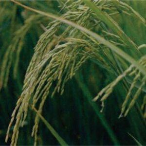 معرفی برنج رقم طارم صدری
