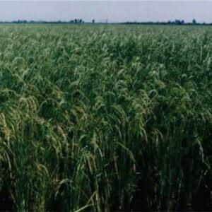 معرفی برنج رقم عنبربو