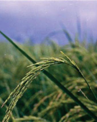 معرفی برنج رقم طارم پاکوتاه