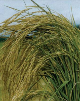 معرفی برنج رقم طارم هاشمی