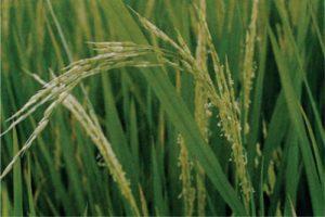 معرفی برنج رقم شفق (لاین ۷۶۰۲)