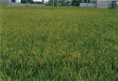 معرفی برنج رقم کادوس (لایه ۷۶۰۴)