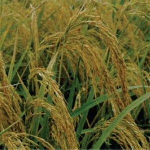 معرفی برنج رقم خزر