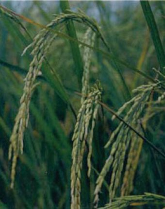 معرفی برنج رقم سنگ طارم