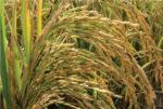 معرفی برنج رقم شیرودی