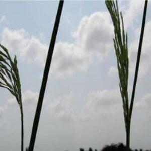 معرفی برنج رقم هیبرید