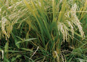 معرفی برنج رقم ندا