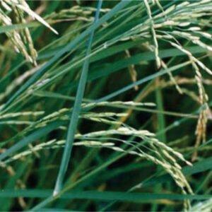 معرفی برنج رقم مازند (لاین ۶۹۲۸)