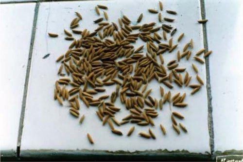 معرفی برنج رقم سپیدرود