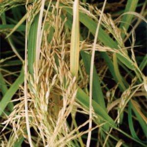 معرفی برنج رقم دشت