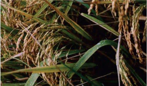 معرفی برنج رقم گرده
