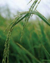 معرفی برنج رقم طارم رشتی