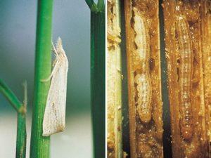 مراحل زندگی آفت ساقه خوار برنج و روش های کنترل آن