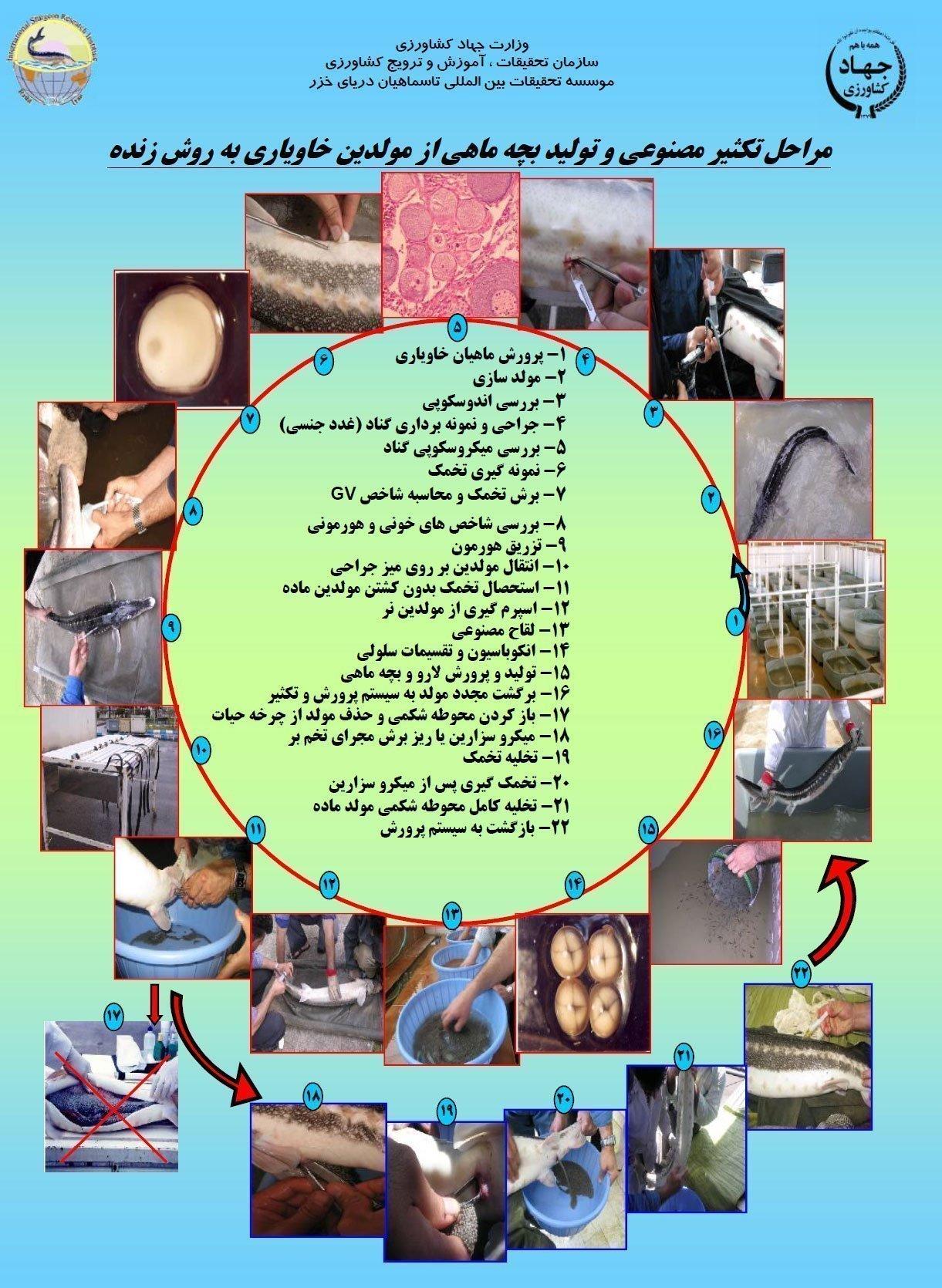 مراحل تکثیر مصنوعی و تولید بچه ماهی از مولدین خاویاری به روش زنده