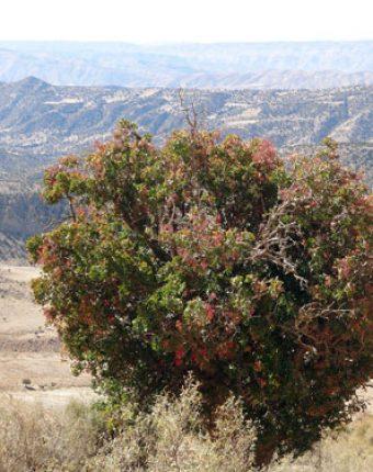 اثر درختچه های پرستار در زادآوری درختان بنه