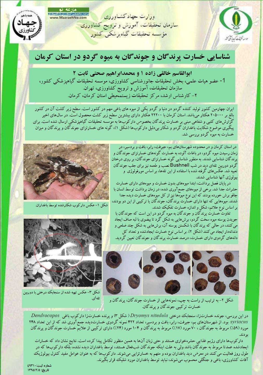 شناسایی خسارت پرندگان و جوندگان به میوه گردو در استان کرمان