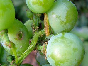زیست شناسی و مبارزه با کرم خوشه خوار انگور