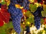 راه های کاهش مصرف آب در باغات انگور