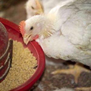راهکارهای بهبود ضریب تبدیل خوراک در واحدهای مرغ گوشتی