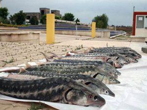 درمان بیماری ماهیان خاویاری [اینفوگرافیک]