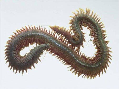 تولید انبوه کرم های پرتار دریایی (کرم نرئیس) جهت تغذیه آبزیان