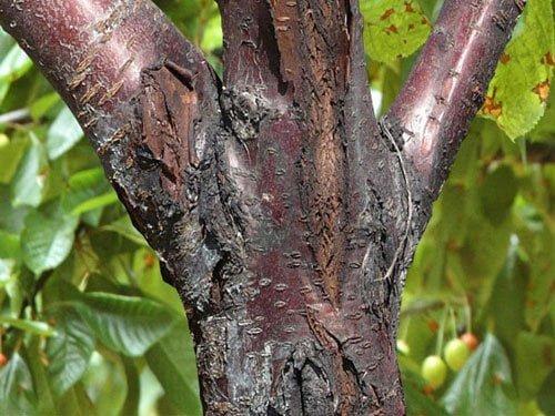 بیماری شانکر باکتریایی درختان میوه هسته دار