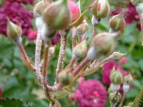 بیماری سفیدک نمدی گل رز