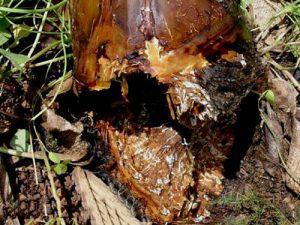 بیماری پوسیدگی قارچ عسلی ریشه درختان میوه