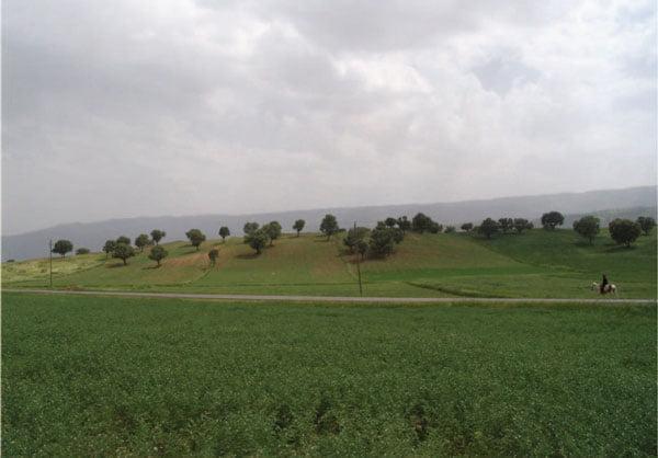 مرحله گل دهی رقم نخود آزاد در مزرعه کشاورزدر استان ایلام