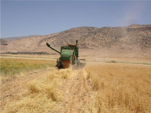 برداشت مکانیزه در مزرعه کشاورز در ایلام با کمباینگندم بدون استفاده از هد کمباین تغییر شکل یافته