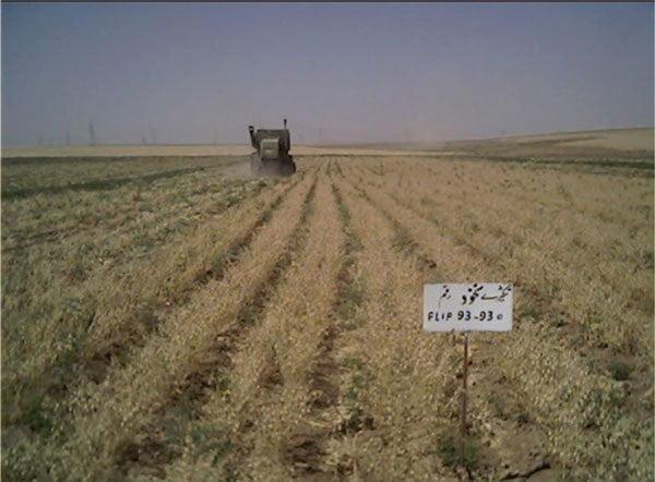 برداشت رقم نخود آزاد در ایستگاه تحقیقات کشاورزی دیم سرارود با کمباین گندم با استفاده از هد کمباین تغییر شکل یافته