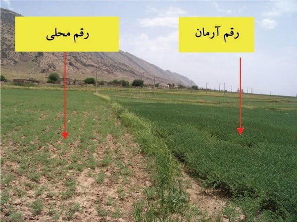 شکل ۱- مزرعه رقم نخود آرمان (کشت پاییزه) در مقایسه با رقممحلی (کشت بهاره)