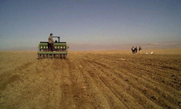 شکل 5- کشت ردیفی رقم آرمان در مزارع کشاورزان