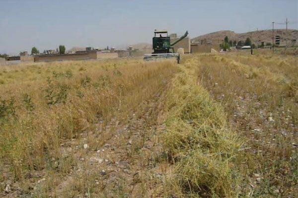 شکل ۷- برداشت مکانیزه در مزرعه کشاورزی در سرپل ذهاب کرمانشاه باکمباین گندم بدون استفاده از هد کمباین تغییر شکل یافته