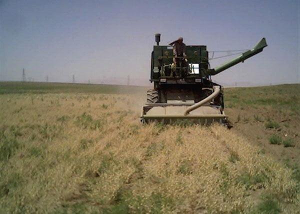 شکل ۸- برداشت رقم نخود آرمان در ایستگاه تحقیقات کشاورزی دیم سرارود با کمباین گندم با استفاده از هد کمباین تغییر شکل یافته