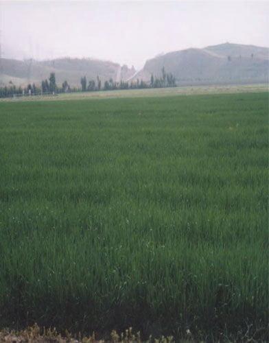 شکل 1 - مزرعه جورقم ماهور
